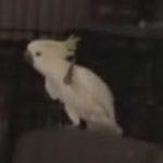Cel mai tare papagal