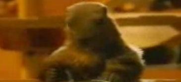 Marmota nu mai inveleste ciocolata