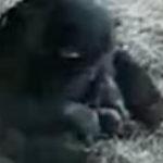 Un cimpanzeu sadic