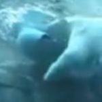Una scurta despre ursii polari
