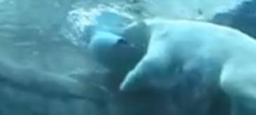 una-scurta-despre-ursii-polari