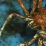 Un crab isi schimba carapacea