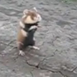 Evil Badass Hamster Takes his Job Seriously [bruce-lee remix]