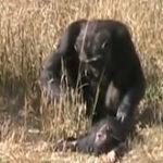 O mama cimpanzeu si puiul sau