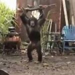 Maimuta cu AK-47