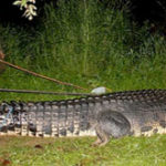 Un crocodil gigant (peste 1000 kg) a fost capturat in Filipine