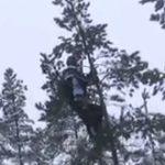 Suedezii s-au apucat de taiat brazi