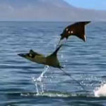 Pelicans and Flying Rays (Narrated by David Tennant) – Earthflight – BBC One