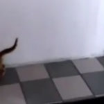 Pisica ninja (6)