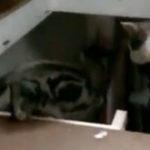Pisicile sunt rautacioase