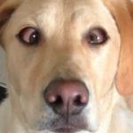 Un labrador isi incruciseaza ochii la comanda