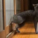 O pisica bine crescuta….
