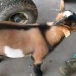 O capra crede ca-i gaina