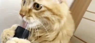 O pisica se joaca cu un aspirator