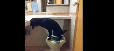 Un caine extrem de educat foloseste WC-ul