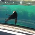 Un leu de mare ingrijorat