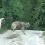 Trei oi vs. un lup