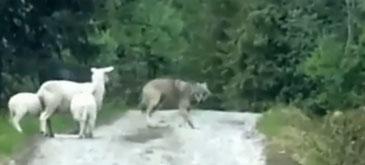 Trei oi vs un lup