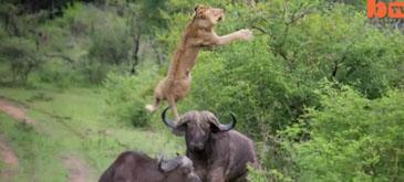 Leul zburator