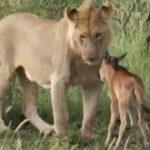 O leoaica protejeaza un pui de bivol