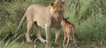 Un leu protejeaza un pui de bivol