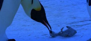 Si pinguinii sunt capabili de emotii