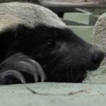 Bursucii sunt niste animale extrem de inteligente