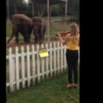 Doi elefanti melomani