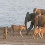 Un tanar elefant reuseste sa scape din …..