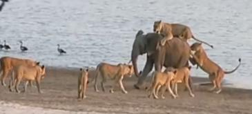 Elefant lei