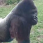 Ce se intampla daca scoti din sarite o gorila?