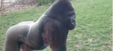 Ce se intampla daca scoti din sarite o gorila