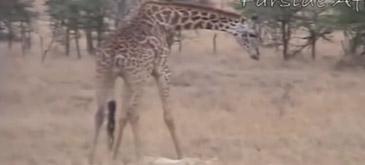 Razbunarea girafei