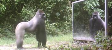 Cum reactioneaza animalele cand se privesc in oglinda