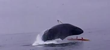 O balena sare din apa si aterizeaza pe un caiac de doua persoane