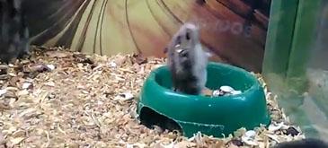 Cred ca hamsterul asta s-a stricat