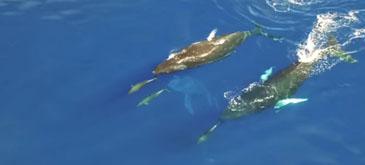 Balene in hawaii