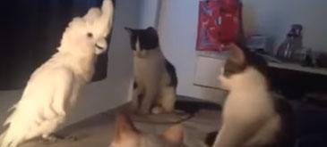 Un papagal se crede pisica